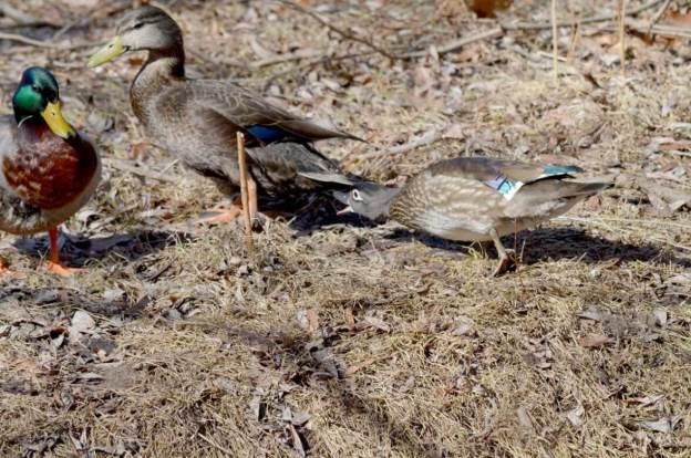 Wood Duck, female, High Park, Toronto 8