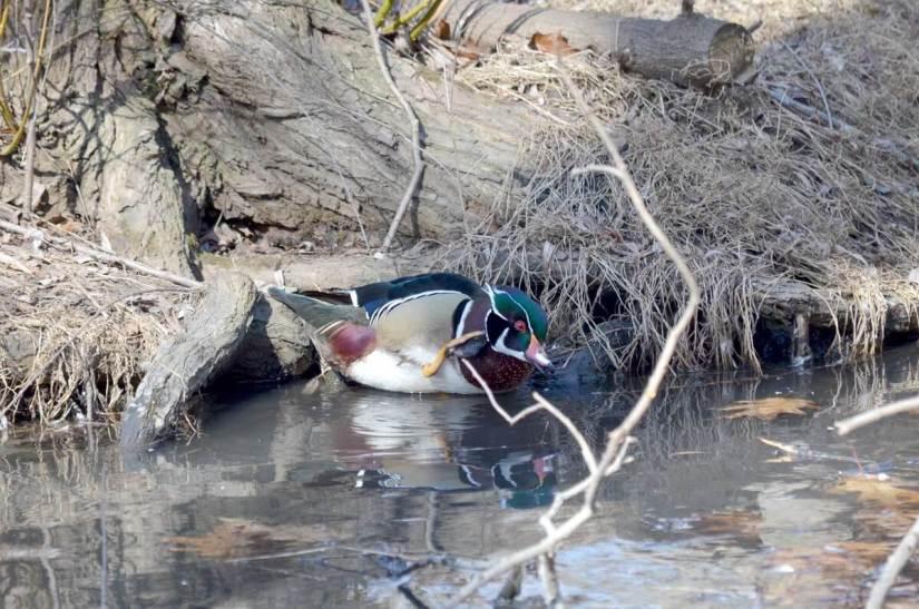 Wood Duck, male, High Park, Toronto 9