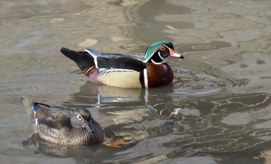 Wood Ducks at High Park, Toronto 2
