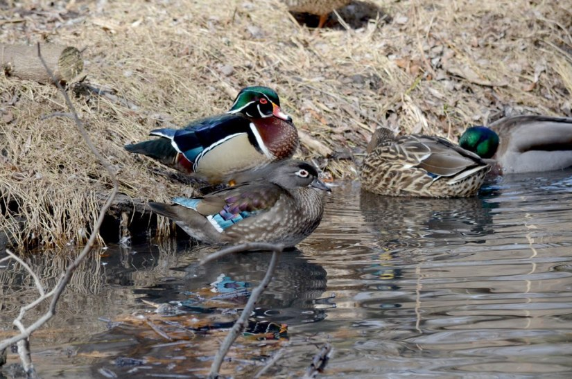 Wood Ducks at High Park, Toronto 3