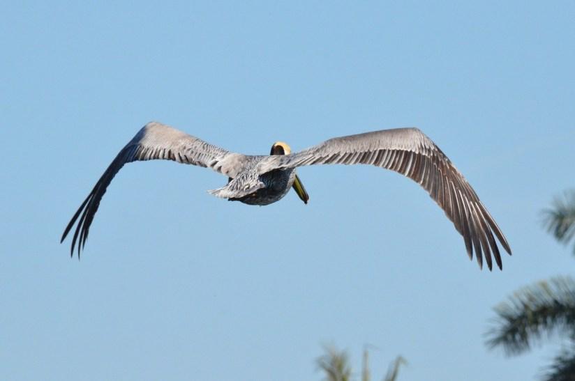 Brown pelican in flight over San Blas, State of Nayarit, Mexico