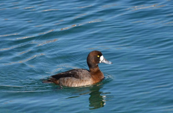 greater scaup, female, tommy thompson park, toronto pic 4