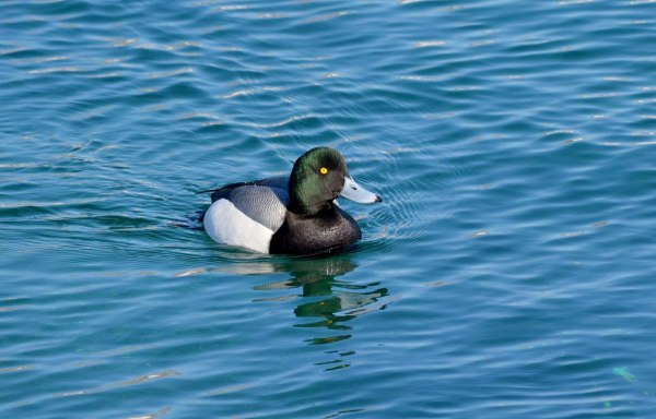 greater scaup, male, tommy thompson park, toronto pic 1