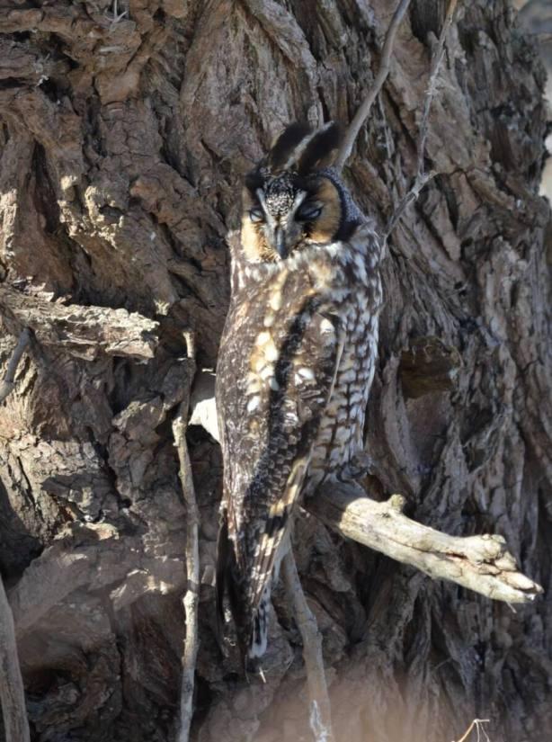 long-eared owl, tommy thompson park, toronto 14