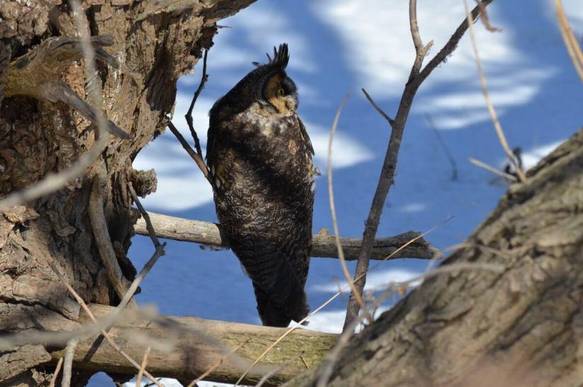 long-eared owl, tommy thompson park, toronto 15
