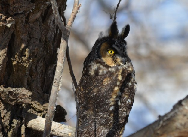 long-eared owl, tommy thompson park, toronto 16