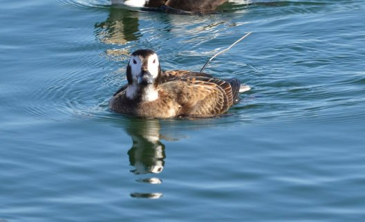 long-tailed duck, female, tommy thompson park, toronto pic 5