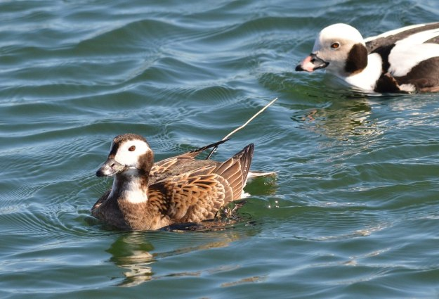 long-tailed ducks, female and male, tommy thompson park, toronto pic 4