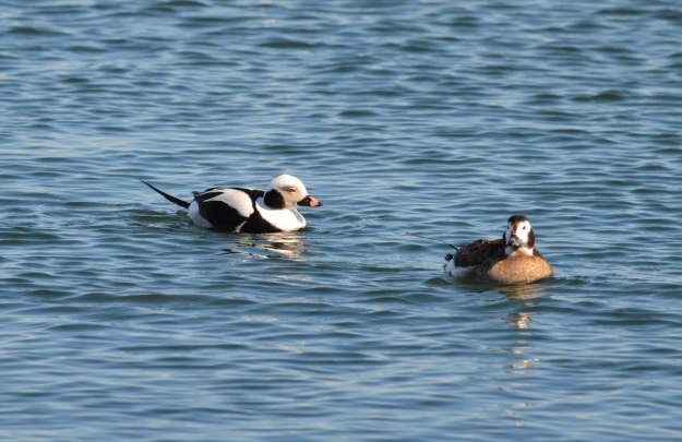 long-tailed ducks, tommy thompson park, toronto pic 7