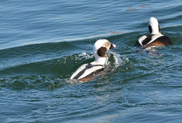 long-tailed ducks, tommy thompson park, toronto pic 9