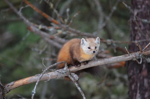 Pine marten up in a tree in Algonquin park