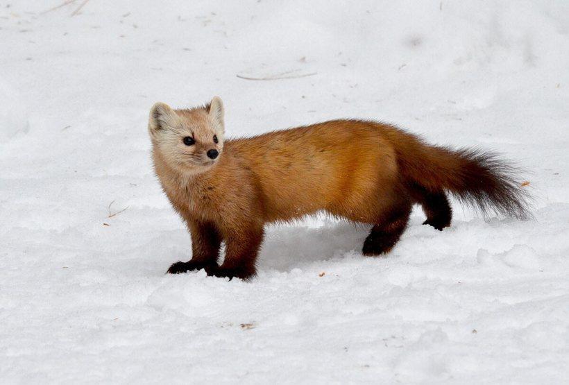 Pine marten walks along snow in Algonquin Park, Ontario