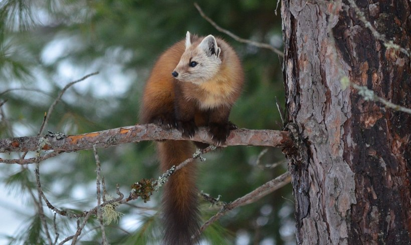 Pine marten on pine tree in Algonquin Park, Ontario