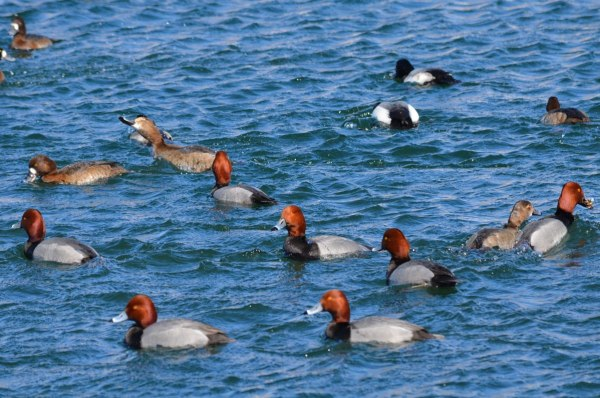 redhead ducks, tommy thompson park, toronto, pic 11