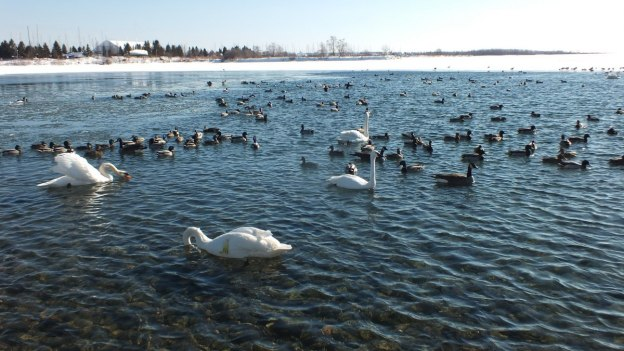 swans at unwin bridge, toronto, ontario