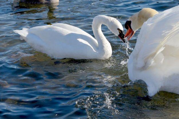 tundra swan, unwin bridge, toronto, 10