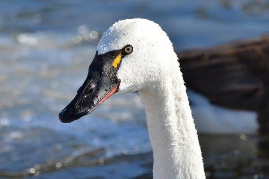 tundra swan, unwin bridge, toronto, 7