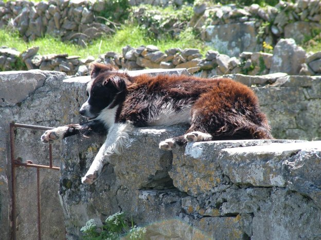 dog sleeping on stone wall, inishmore island, aran islands, ireland