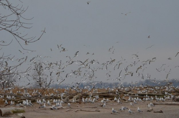 ring-billed gull colony at tommy thompson park, toronto, 5