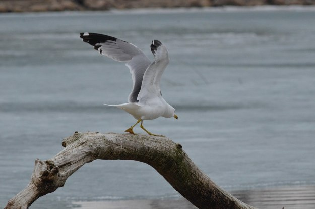 ring-billed gull takes flight, tommy thompson park, toronto, 1