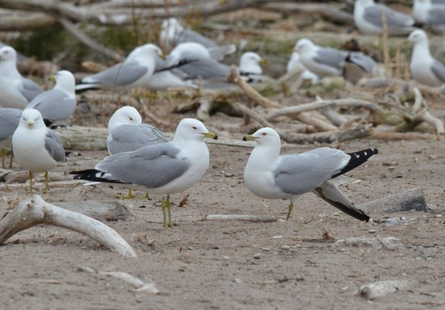 ring-billed gulls, tommy thompson park, toronto, 2