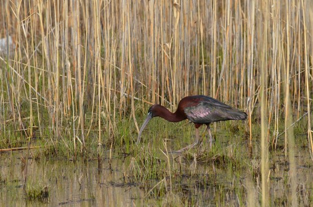 Glossy Ibis on the hunt for food in a wetlands in Whitby, Ontario, Canada
