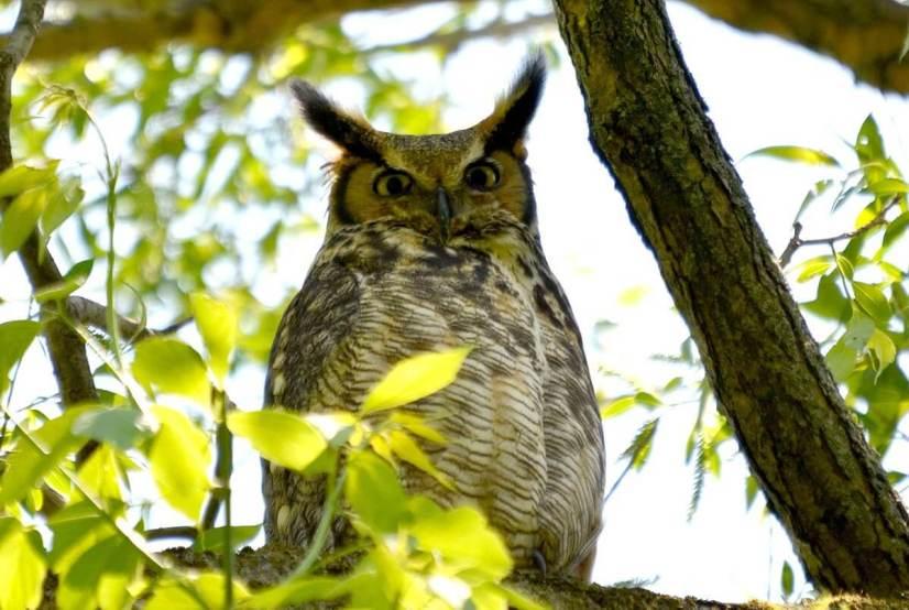 great horned owl, second marsh, oshawa, ontario, pic 1