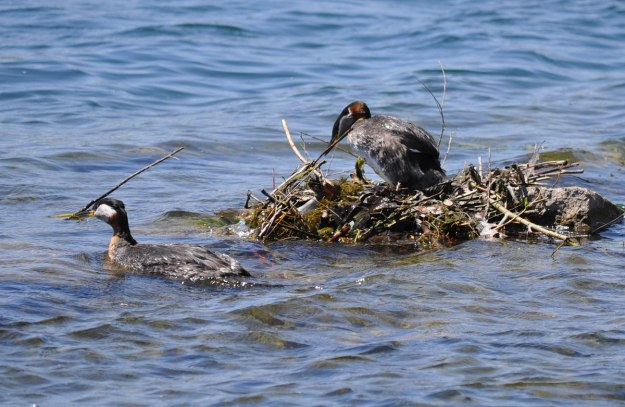 red-necked grebe, colonel samuel smith park, etobicoke, ontario, pic 3