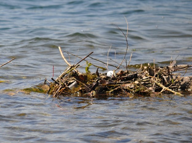 red-necked grebe egg on the nest, colonel samuel smith park, etobicoke, ontario