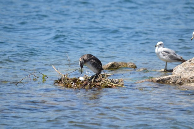red-necked grebe, with egg on the nest, colonel samuel smith park, etobicoke, ontario, pic 2