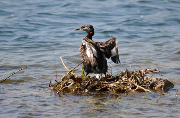 red-necked grebe, with egg on the nest, colonel samuel smith park, etobicoke, ontario