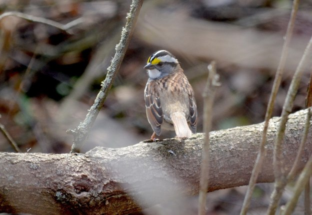 white-throated sparrow, ontario, pic 1
