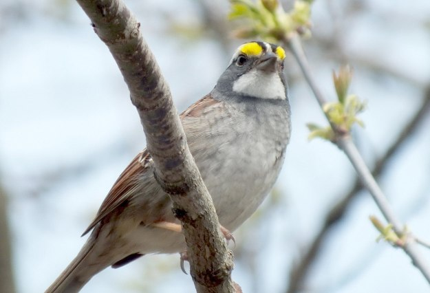 white-throated sparrow, ontario, pic 4