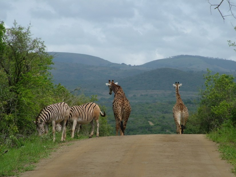 An image of Zebras and giraffe standing on a dirt road in South Africa. Photography by Frame To Frame - Bob and Jean.
