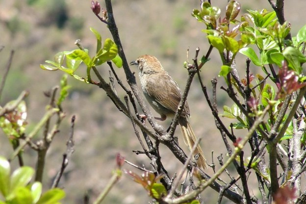 Arrow-marked Babbler on a bush at Blyde River Canyon in South Africa