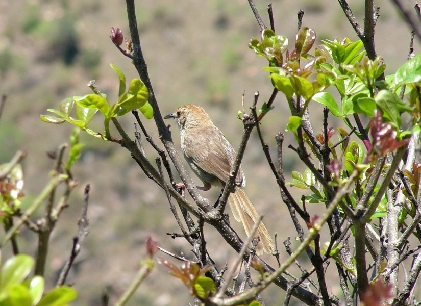 Arrow-marked Babbler sitting on a bush at Blyde River Canyon in South Africa