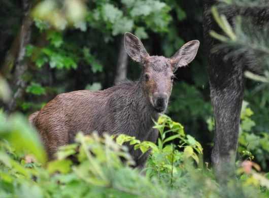 baby moose in algonquin park, ontario, 1