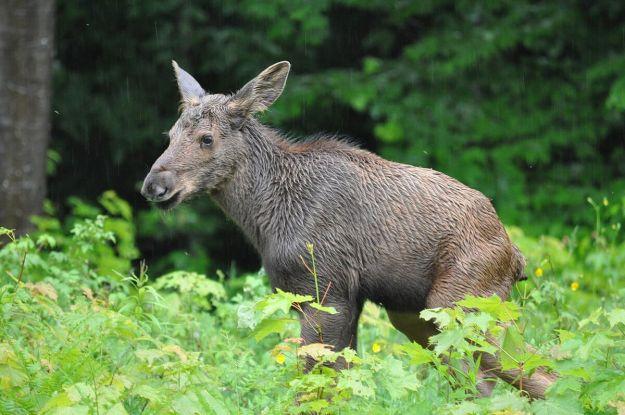 baby moose in algonquin park, ontario, 7