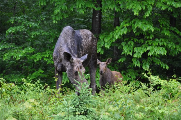 baby moose stands beside its mother, algonquin park, ontario