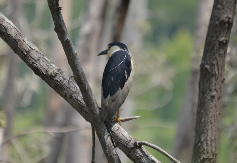 A Black-crowned Night Heron sitting on a tree at Tommy Thompson Park in Toronto, Ontario, Canada