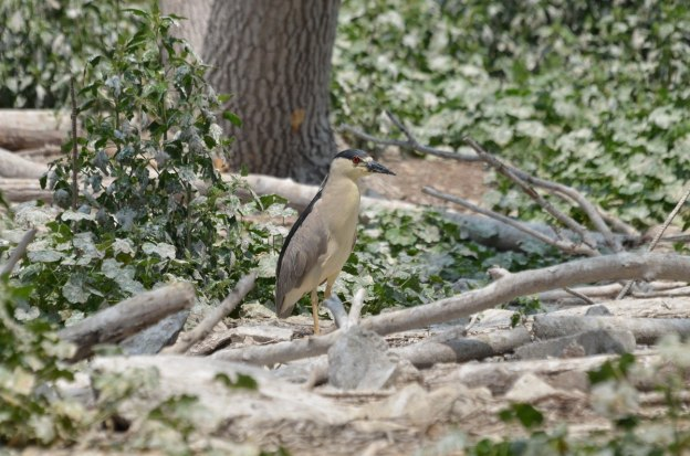 black-crowned night heron standing on the ground, tommy thompson park, toronto