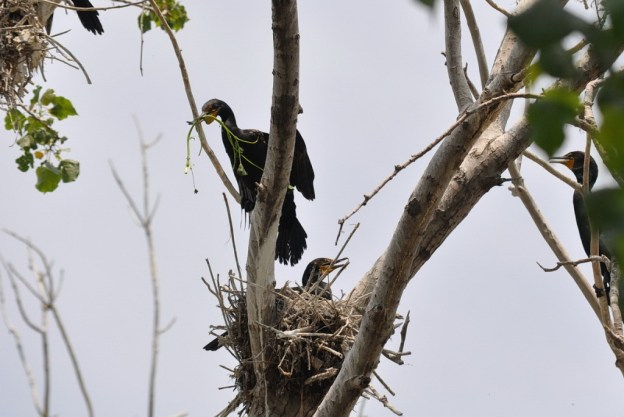 double-crested cormorant holds green plant in beak, tommy thompson park, toronto, pic 5