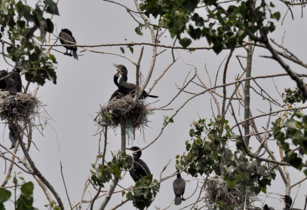 double-crested cormorants in nests in trees at tommy thompson park, toronto
