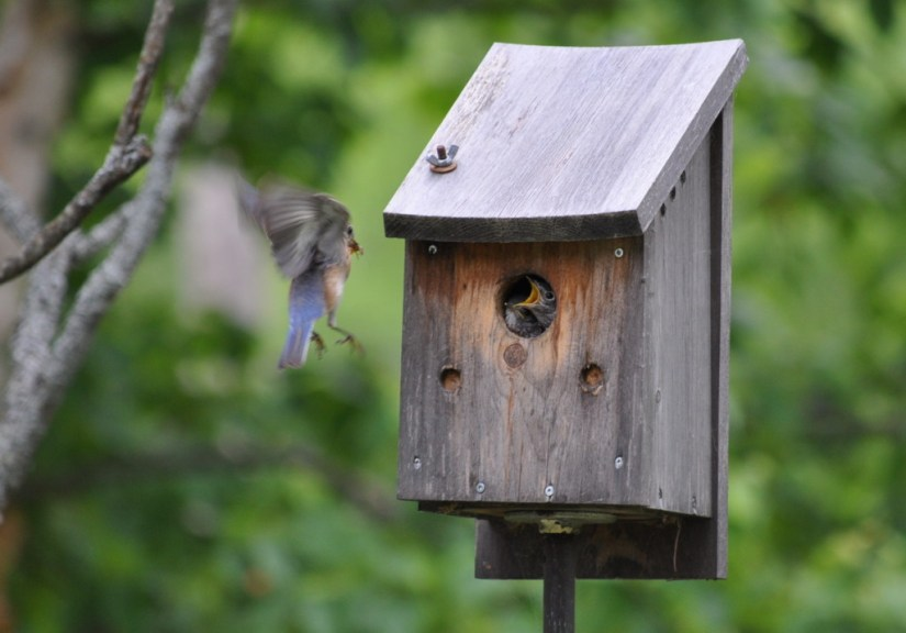 eastern bluebird arrives with bugs for fledglings, oxtongue lake, ontario