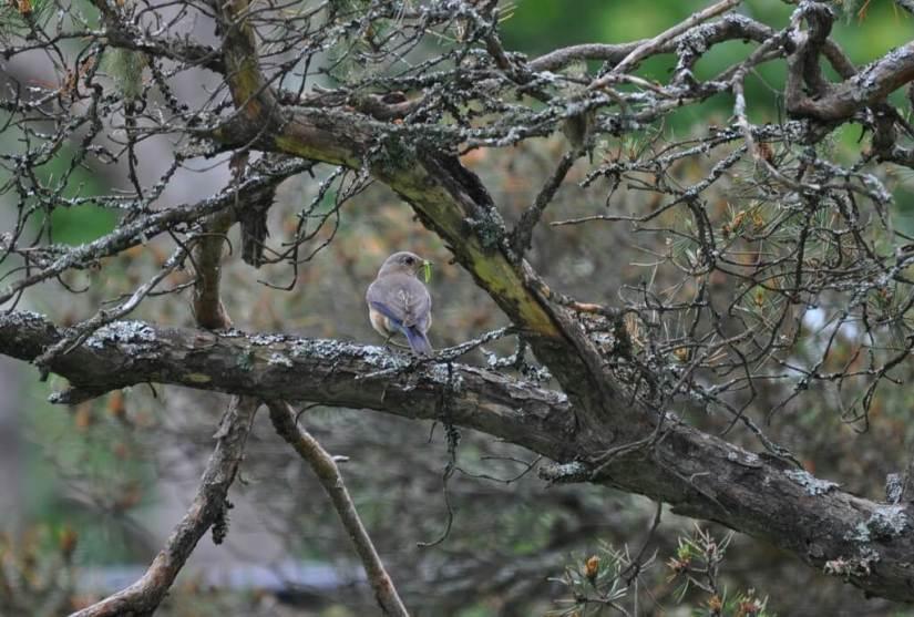 eastern bluebird female, oxtongue lake, ontario