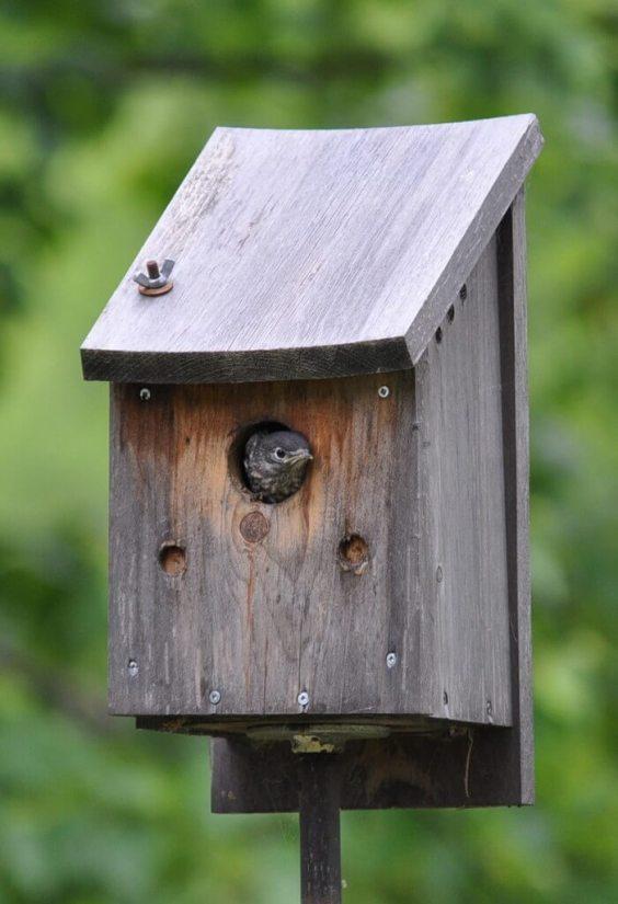 eastern bluebird fledgling in nest, oxtongue lake, ontario