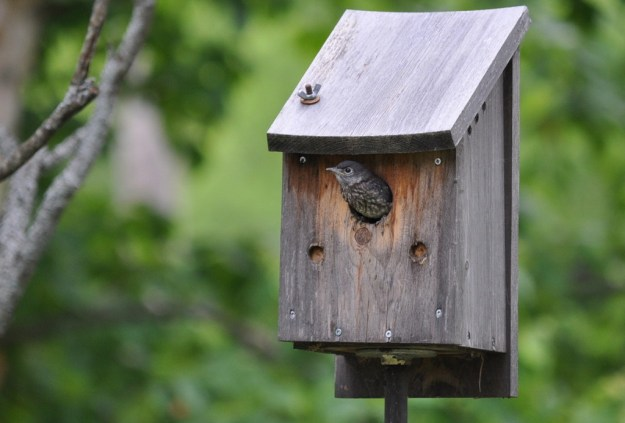 eastern bluebird fledgling prepares to exit nest, oxtongue lake, ontario