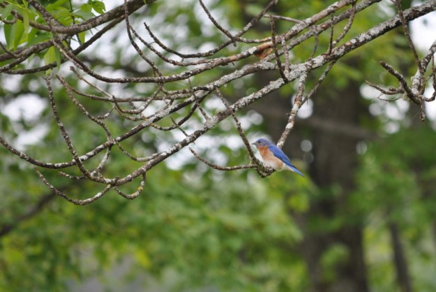 eastern bluebird male, in tree at oxtongue lake, ontario
