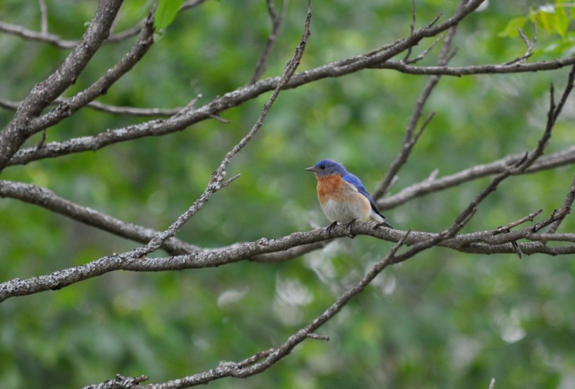 eastern bluebird male sits in a tree at oxtongue lake, ontario