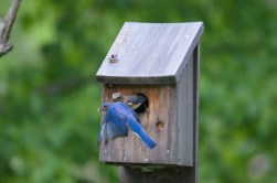 photograph of an eastern bluebirds at Oxtongue Lake, in Ontario